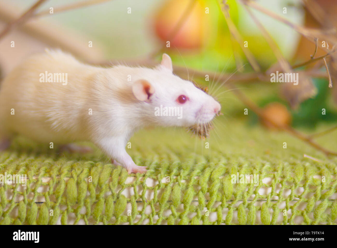 Beautiful mouse on green background. White rat standing on the grass. Light decorative rodent. - Stock Image