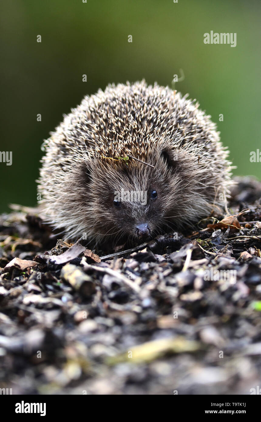 Portrait of an adult hedgehog Dorset, UK - Stock Image