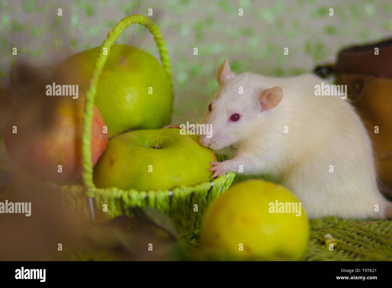 Still life with apples. White rat with green apples. Mouse with fruit in the basket. Beautiful decorative rodent. - Stock Image
