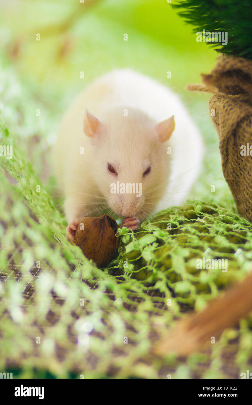 A white rat with a nut. A beautiful mouse nibbles on food. Light rodent on green background. - Stock Image