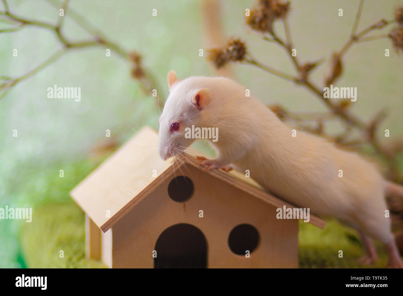 White rat sitting on the roof of the house. Decorative mouse crawling. Beautiful home rodent on green background. - Stock Image