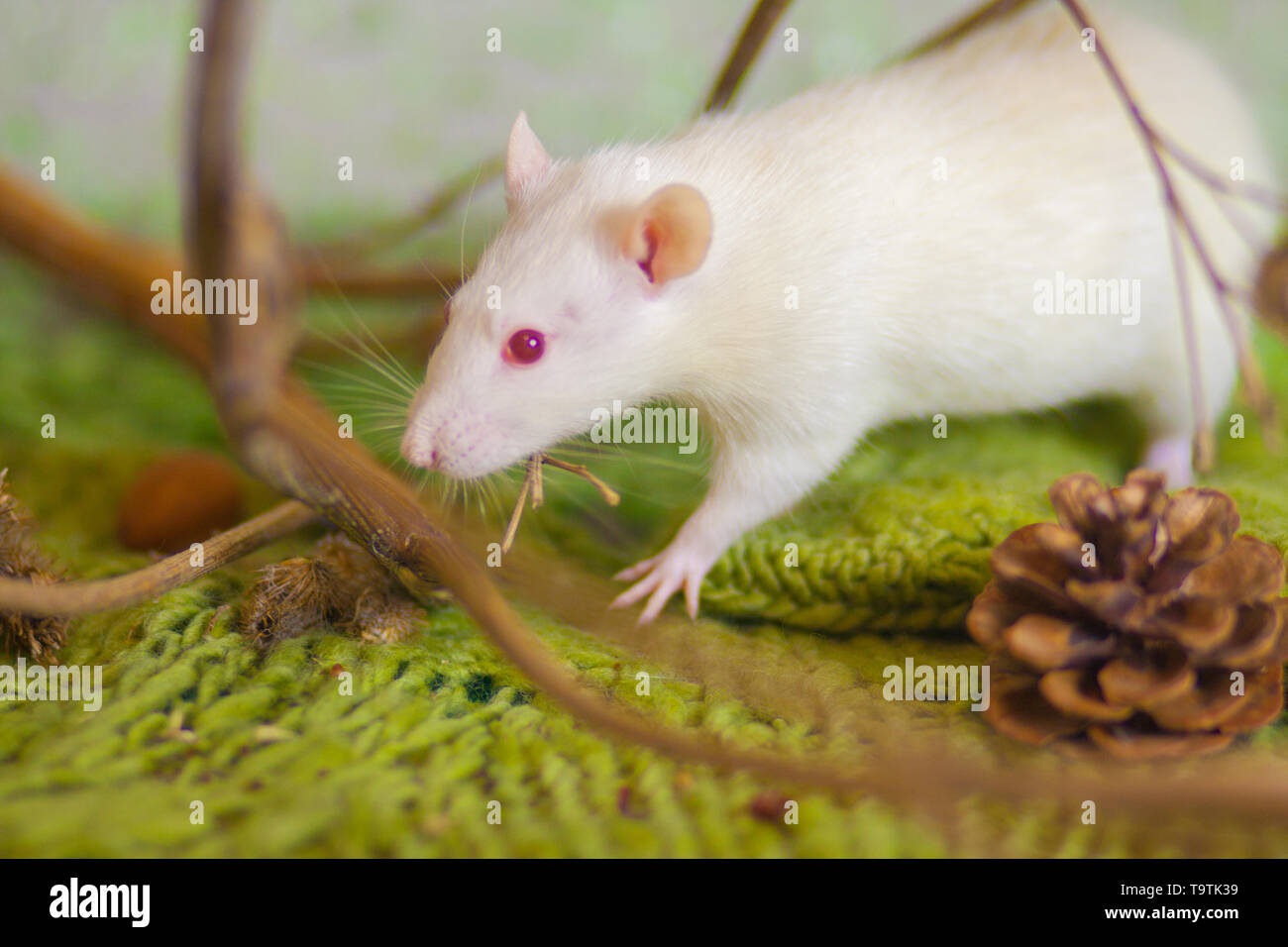 Beautiful mouse on the grass. White rat on a green background. Decorative Pets. Rodent in the woods. - Stock Image