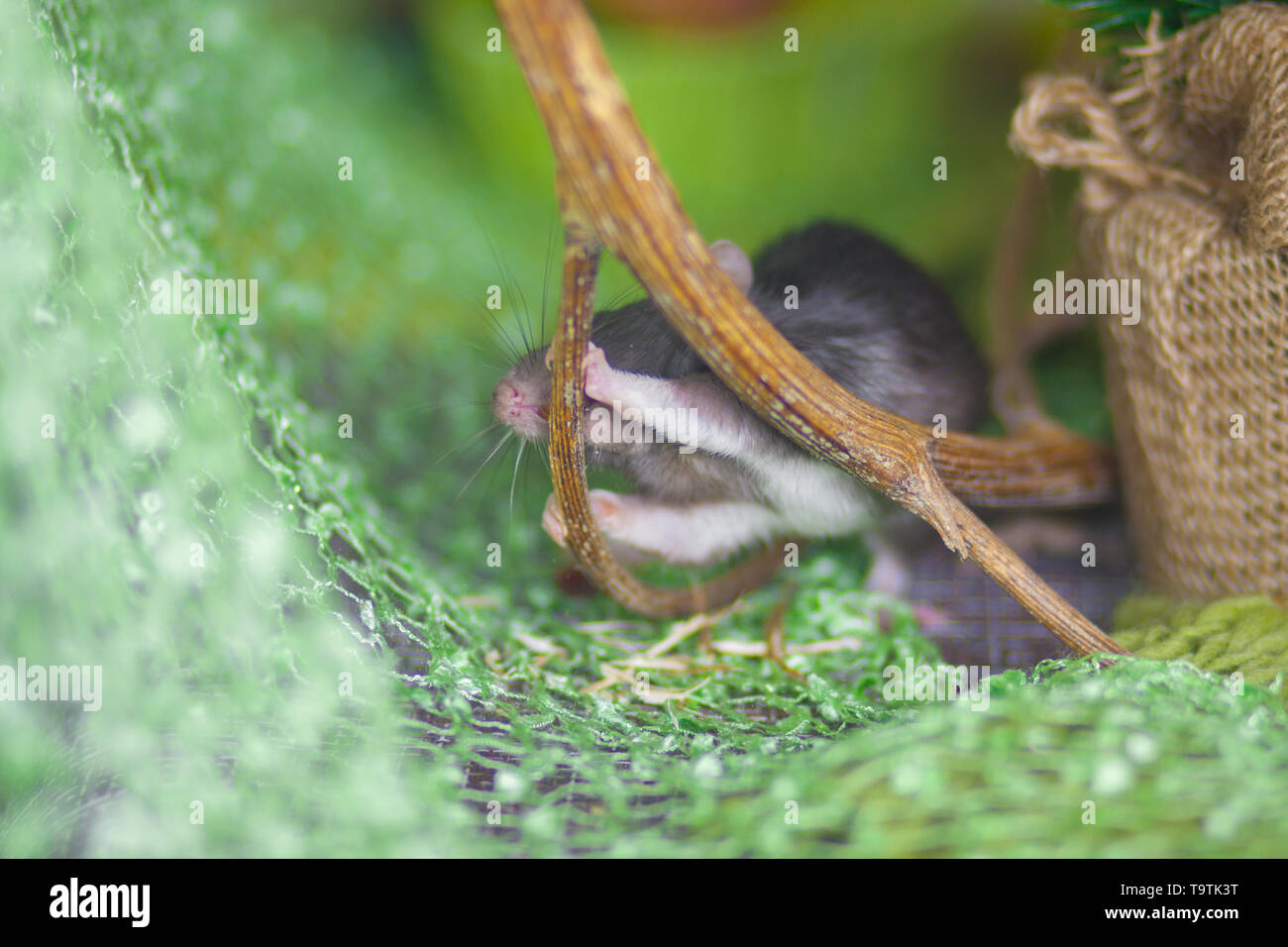 Mouse nibbles a twig. A gray rat bites a branch. The rodent eats the tree. - Stock Image