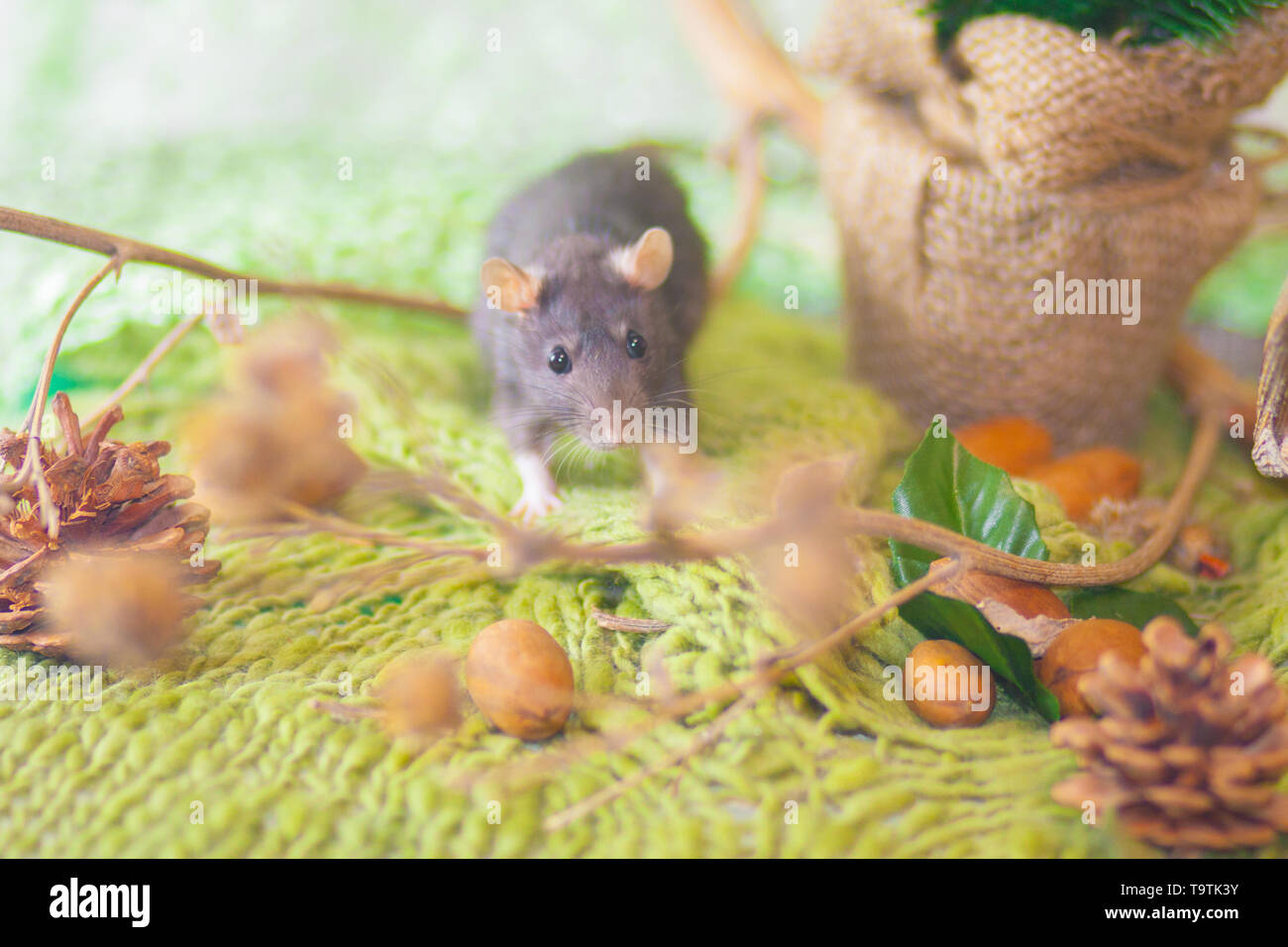 The concept of a forest tale. A gray rat on a green background. Mouse on grass. Beautiful rodent. - Stock Image