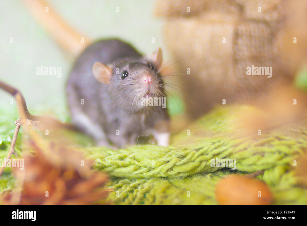 Mouse in the woods. Gray rat on the grass. Rodent on green background. - Stock Image