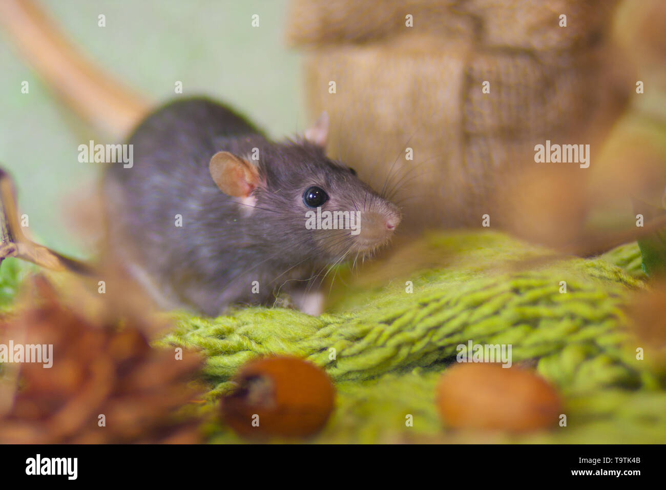 Rat in the woods. Gray mouse on green background. Rodent sitting in the grass. - Stock Image