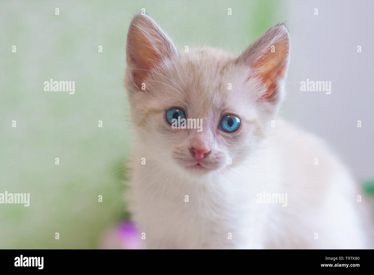 Portrait of a cat close-up. White kitten looking at the camera. Face home predator. - Stock Image