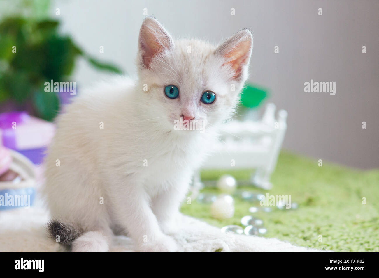 The concept of innocence. Small kitten close-up. White cat looks at the camera. - Stock Image