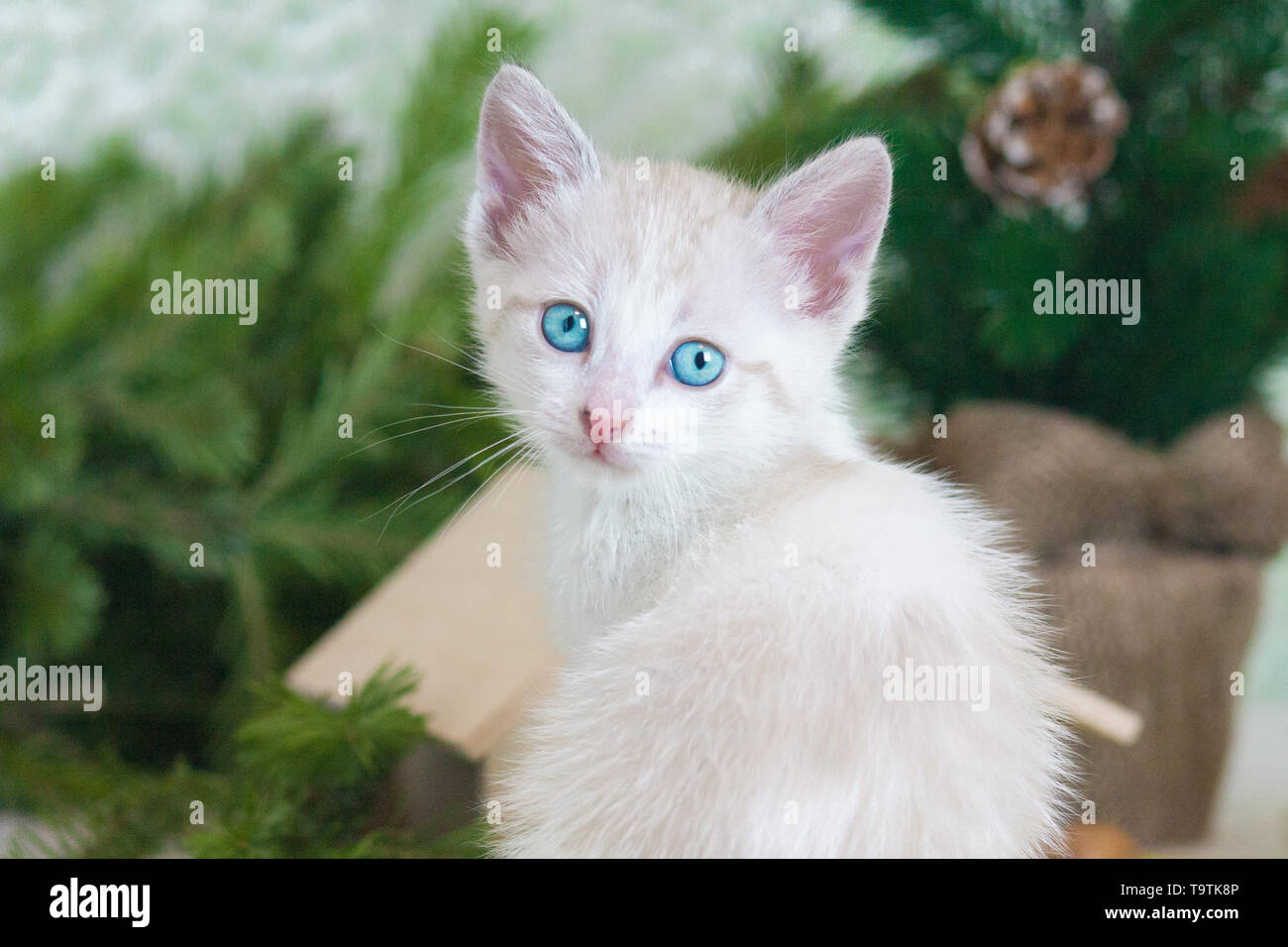 Pretty little kitty closeup. Cat looks at the camera. White furry predator. - Stock Image