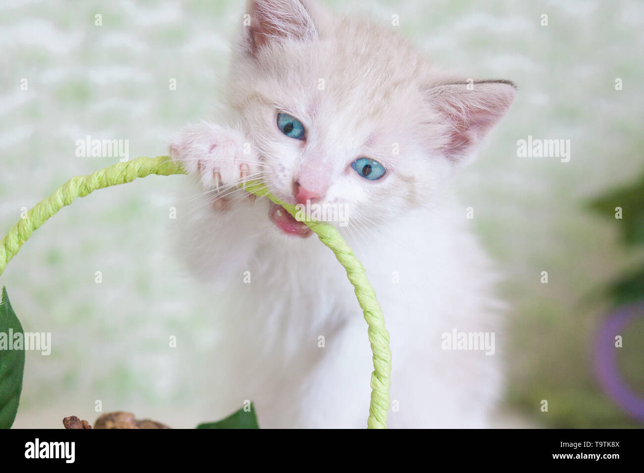 Healthy teeth concept. Kitten nibbles. Cat bites. The animal sharpens its teeth - Stock Image