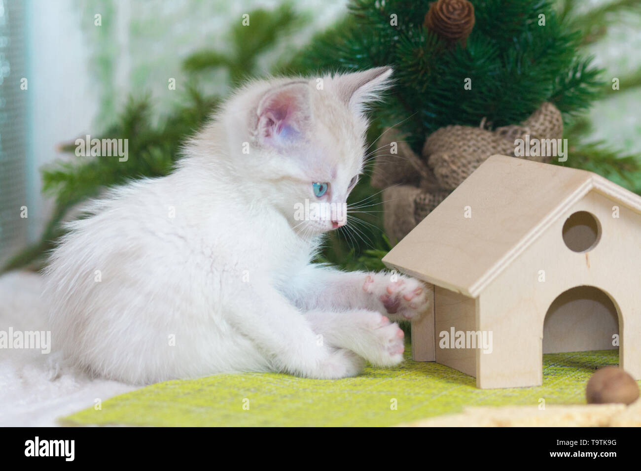 Little kitten sitting on the background of the Christmas tree. White cat sitting next to the house. Furry predator looks at the toy. - Stock Image