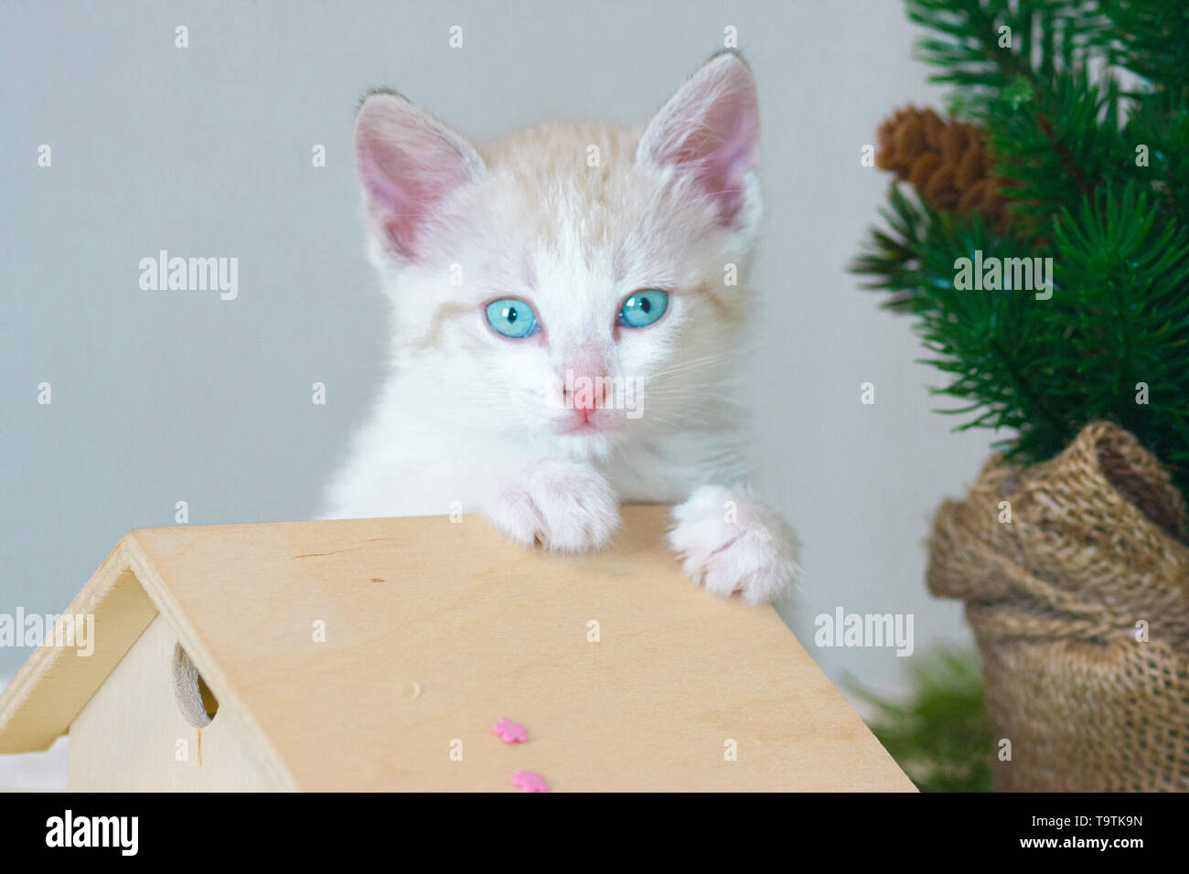 Pretty little kitty closeup. Portrait of white cat. Beautiful animal on the background of the Christmas tree. - Stock Image