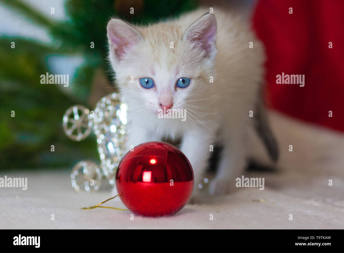 A small kitten with a Christmas toy. Cat on Christmas tree. Christmas animals. Cat symbol of the new year. - Stock Image