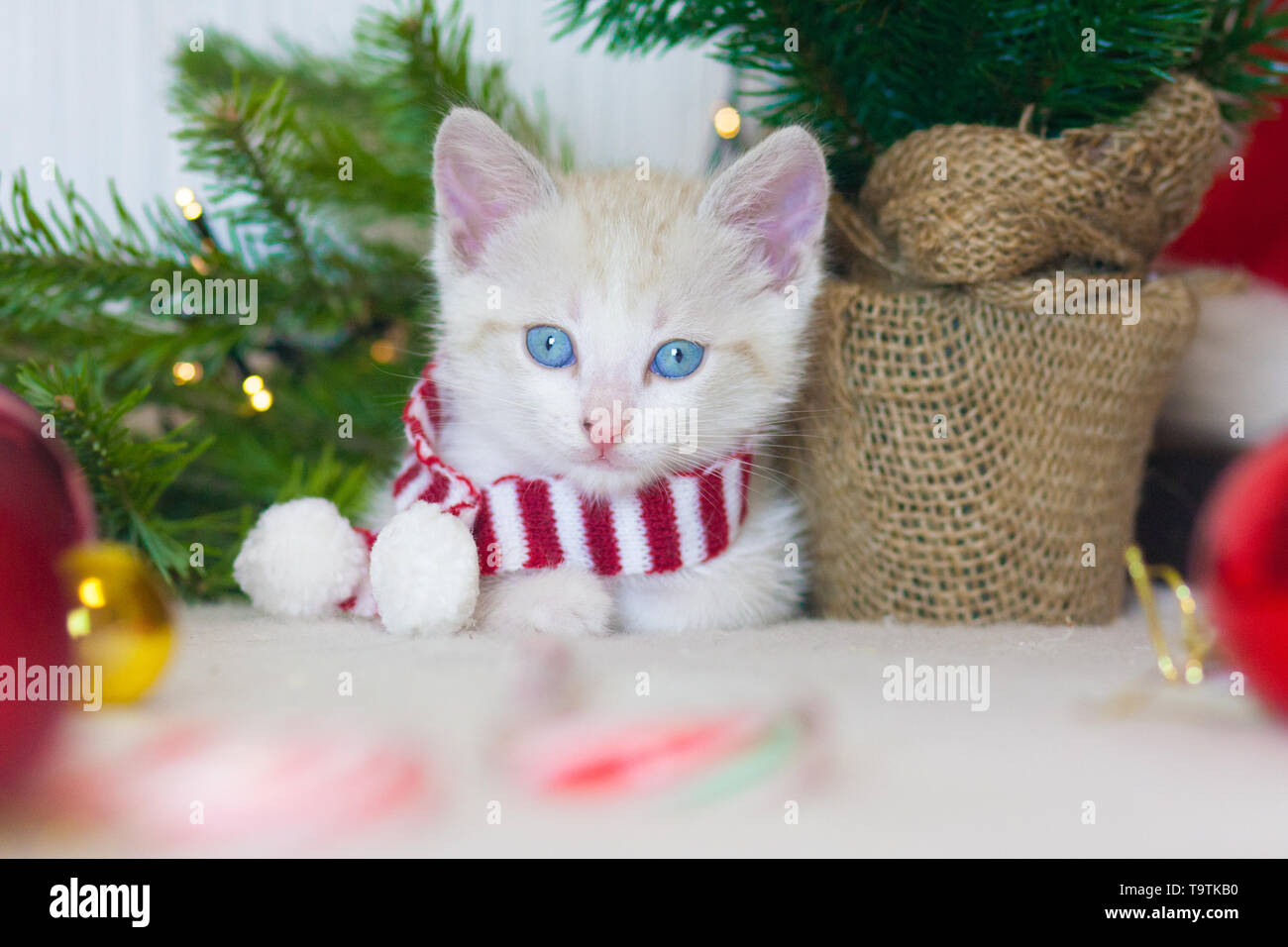 New year kitten. Cat in a scarf on the background of the tree. Cat symbol of the new year. Animal with Christmas decorations. - Stock Image
