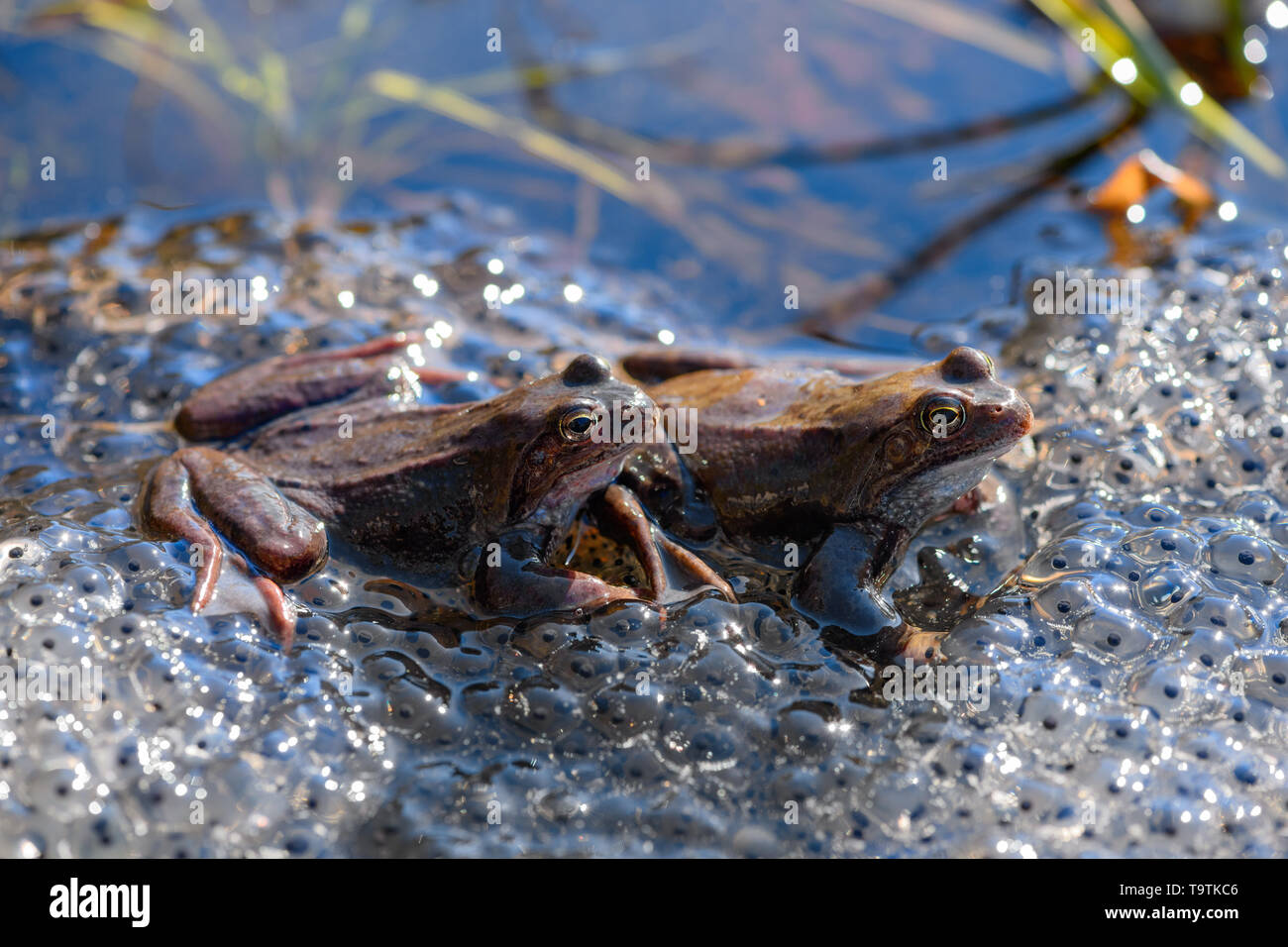 Two common frogs (Rana temporaria) and their spawn are in the pond. - Stock Image