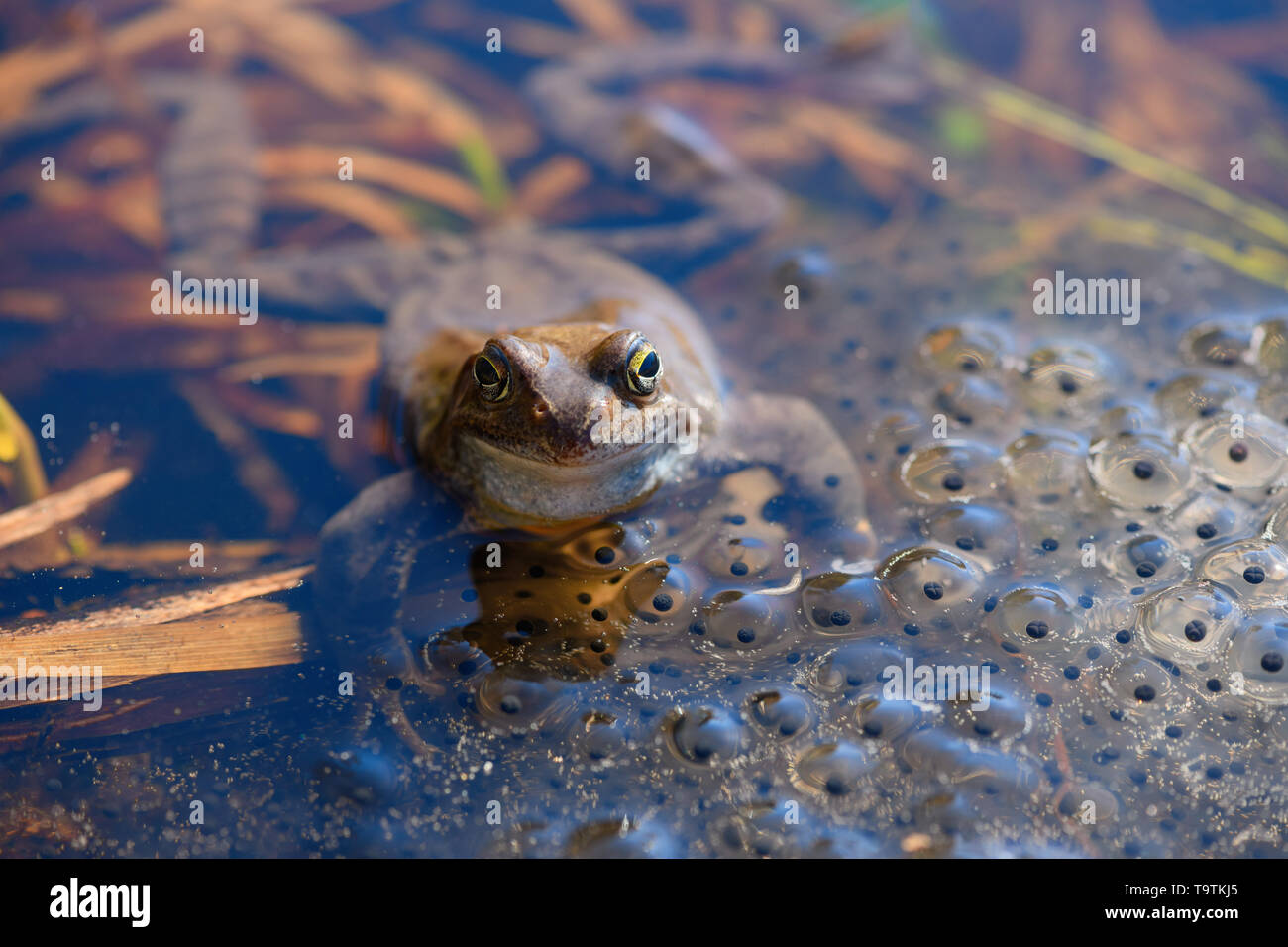 The European common frog (Rana temporaria) is in the spawn covered pond in spring. - Stock Image