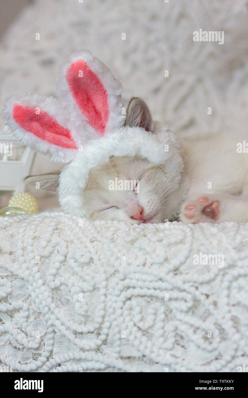 The concept of home comfort. Kitten sweet sleeping. Cat in Bunny ears. An animal in a rabbit costume. - Stock Image