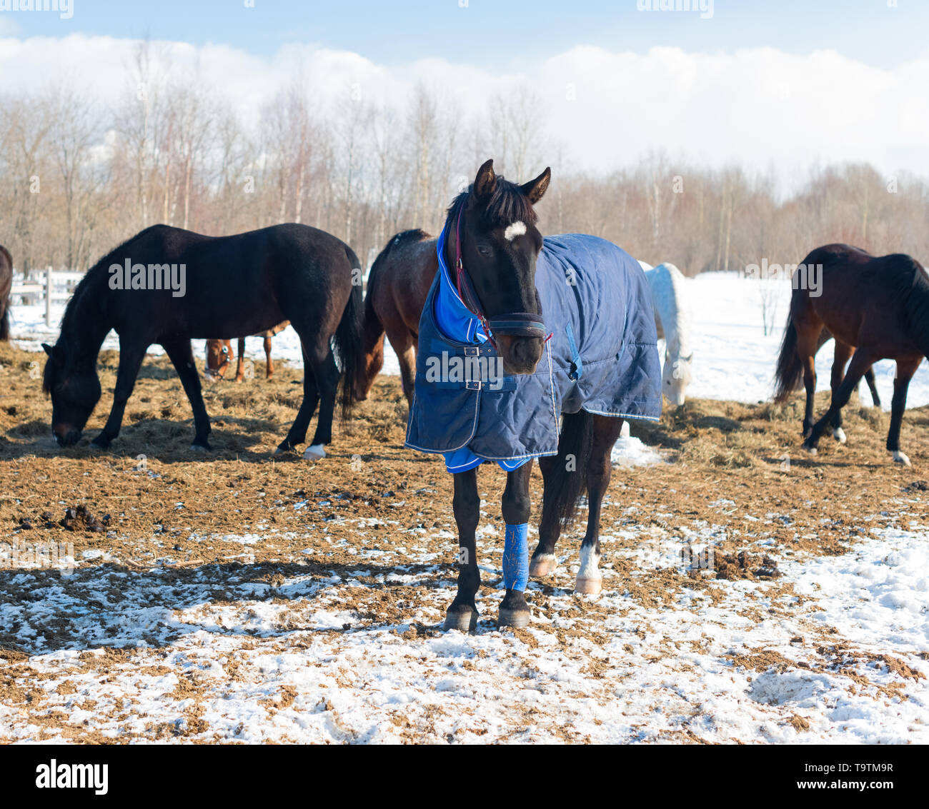The bay horse with the blue blanket and the halter is in outdoors. The herd of the mares and the geldings is on the ranch in rural. - Stock Image