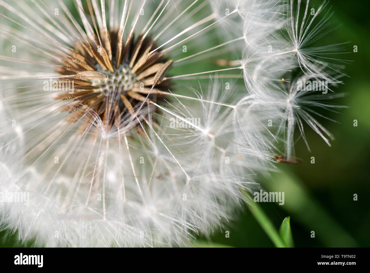 Vibrant close-up of a dandelion seed head - Stock Image