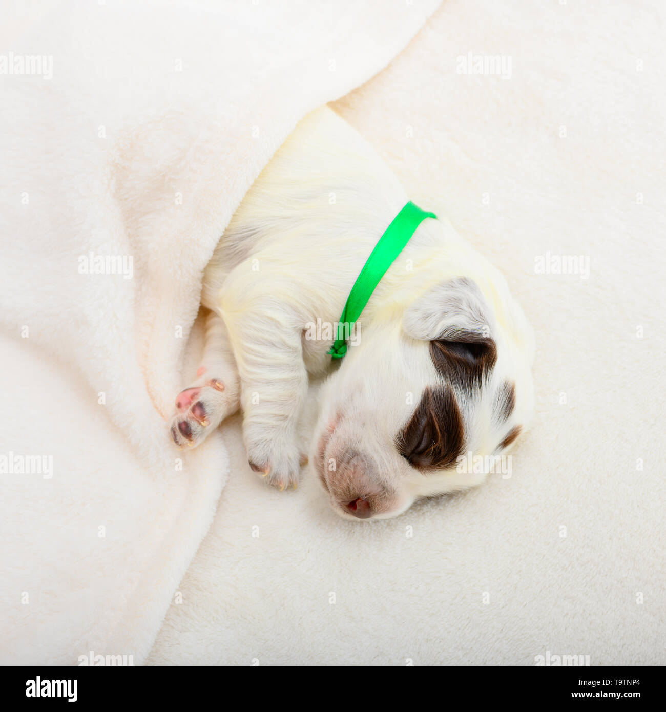The cute little puppy with a green ribbon tied to the neck is sleeping under a warm plaid in indoor. - Stock Image