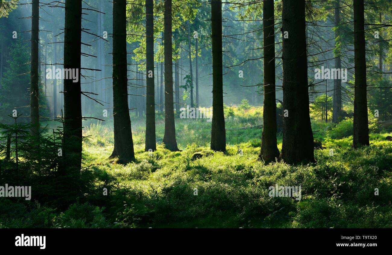 Sun shines through natural spruce forest with morning fog, Harz National Park, Lower Saxony, Germany - Stock Image