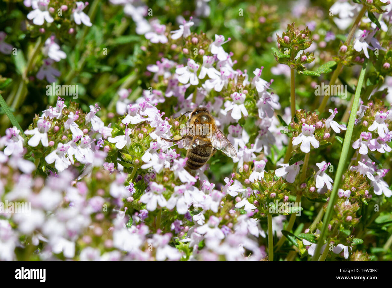 A Honeybee - Apis mellifera - feeding on the nectar of flowering Thym - Thymus vulgaris - on a sunny day in spring. - Stock Image