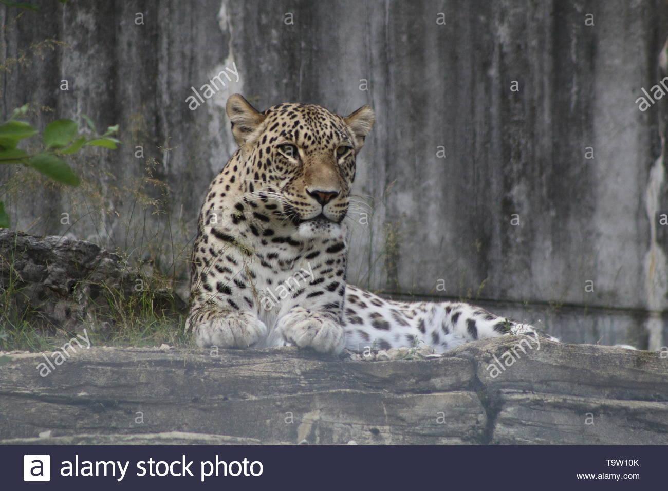 Wild cat takes a break. Leopard portrait - Stock Image