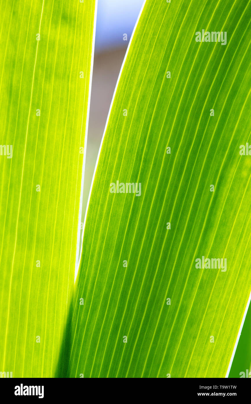 Abstract close-up of the green foliage of an Iris plant backlit by the sun showing the veins in the leaves. - Stock Image