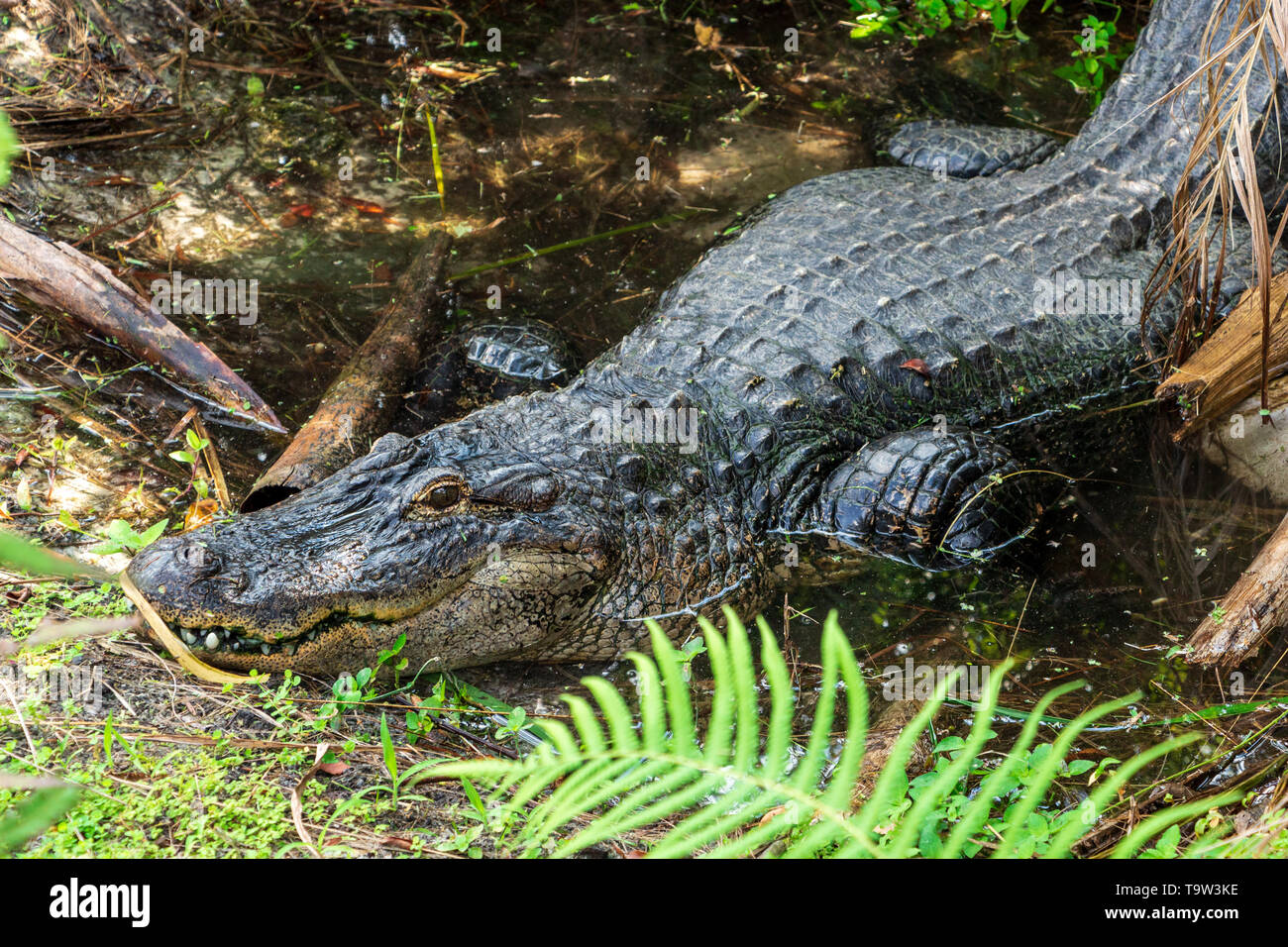 American alligator (Alligator mississippiensis) lying in pond, captive animal - Florida, USA - Stock Image