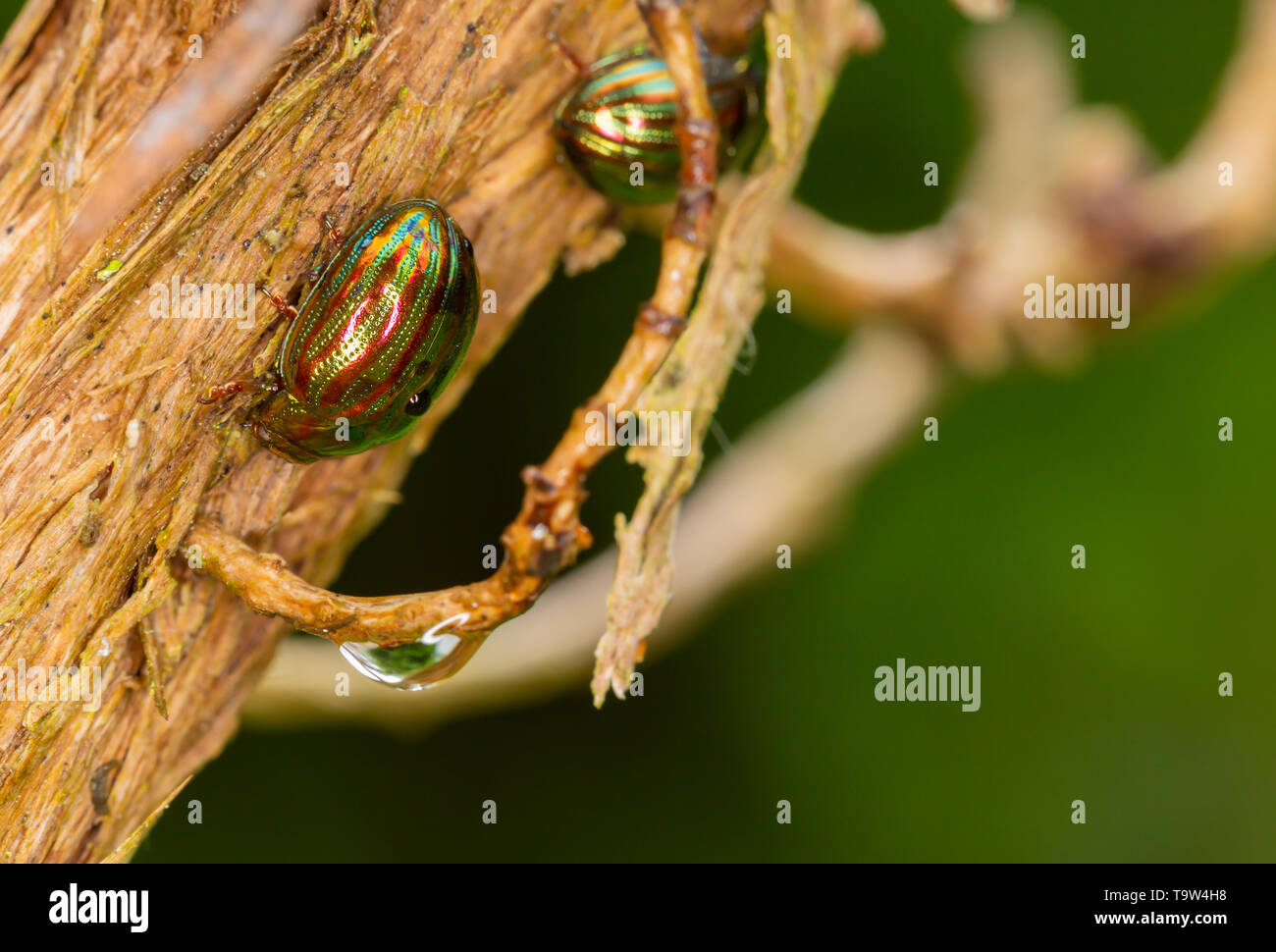 Macro photo of Rosemary Beetle on stripped Rosemary bush on green background. - Stock Image