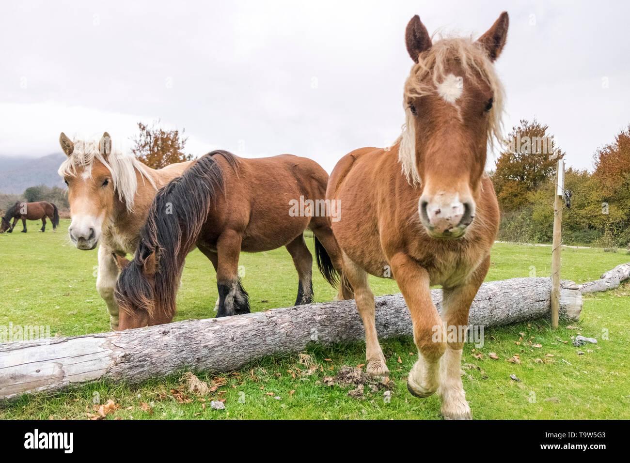 Horses, in Roncesvalles Autumn, Navarre, Spain - Stock Image