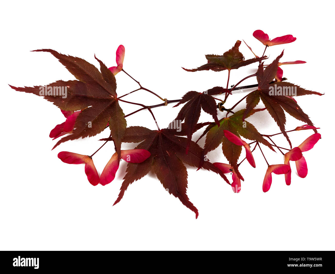 Red winged seeds and red bronze summer foliage of the Japanese maple, Acer palmatum 'Bloodgood', on a white background Stock Photo