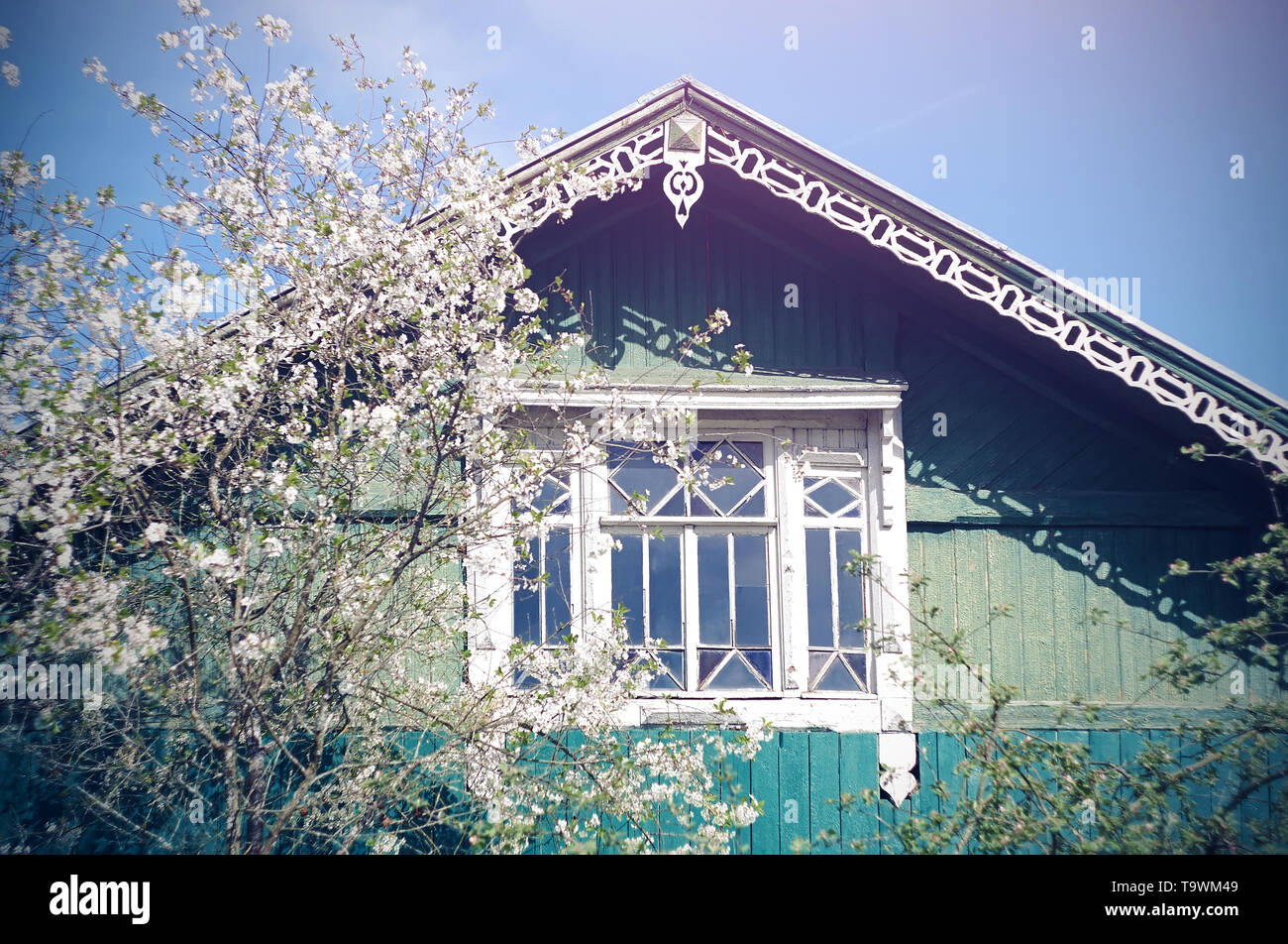 A beautiful native wooden village house of blue and turquoise color with a carved roof and a white frame on a beautiful window, next to which a cherry - Stock Image