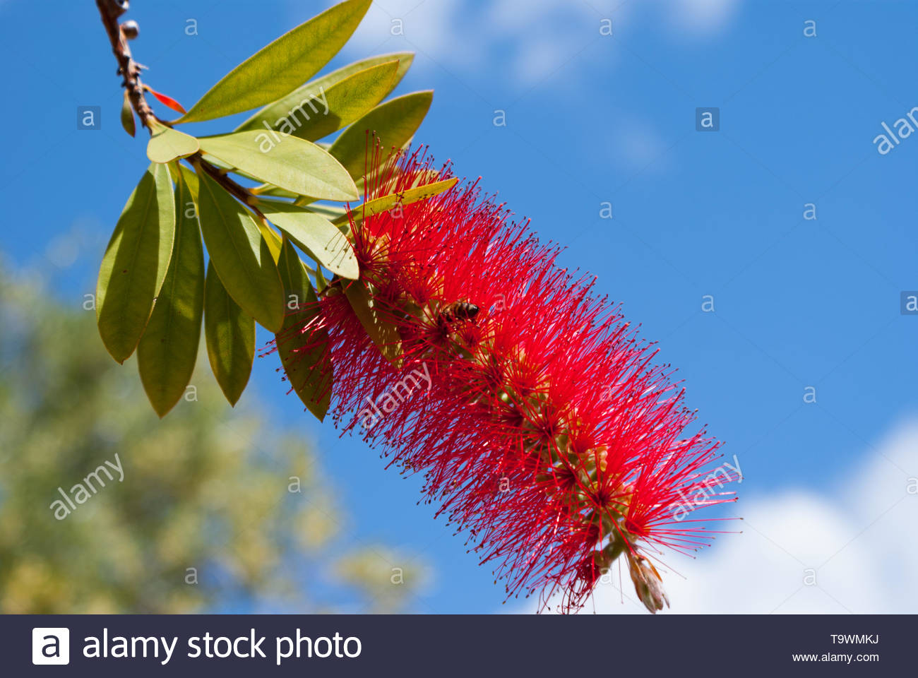 Bottlebrushes are members of the genus Callistemon and belong to the family Myrtaceae shown agaist a clear blue sky - Stock Image