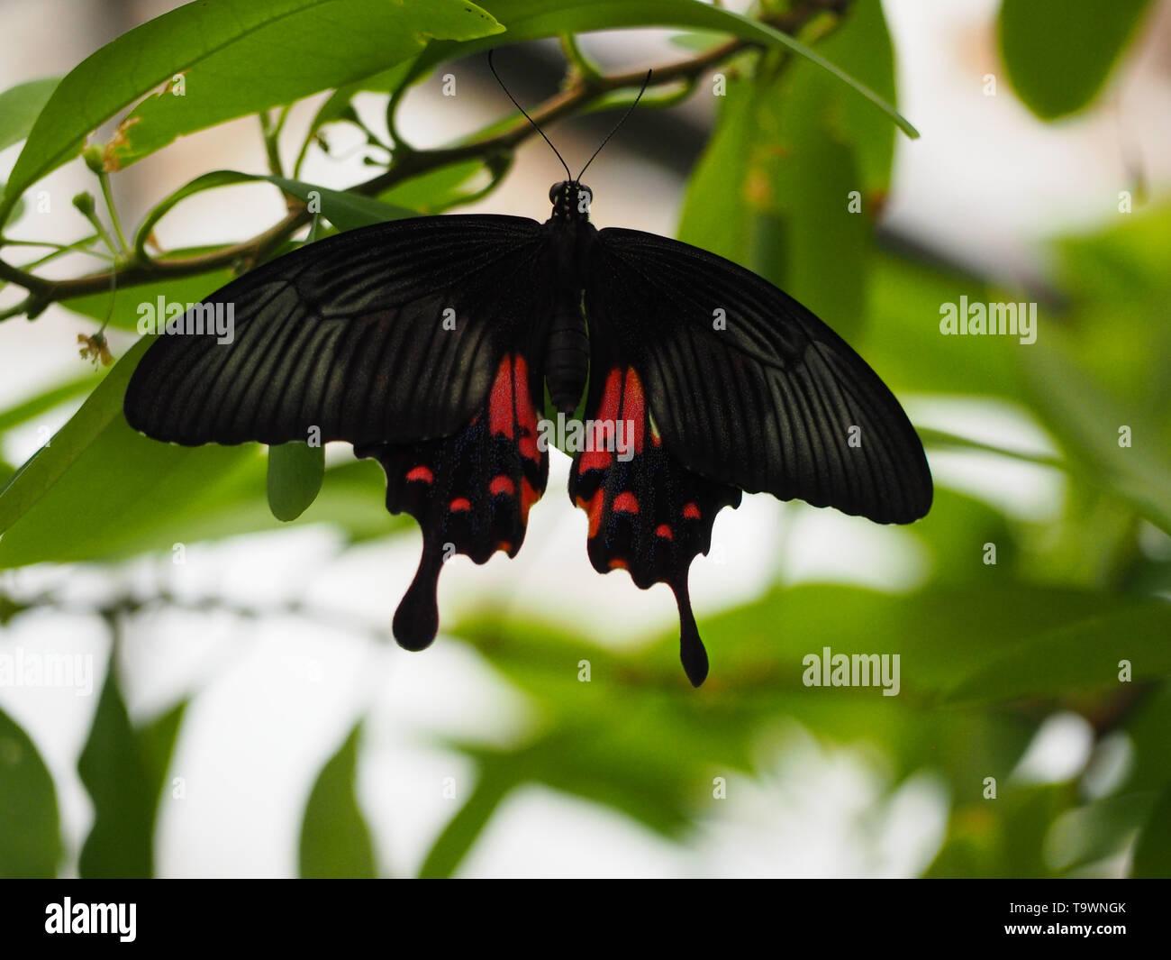 Rot schwarzer Schmetterling an einem Ast - Stock Image