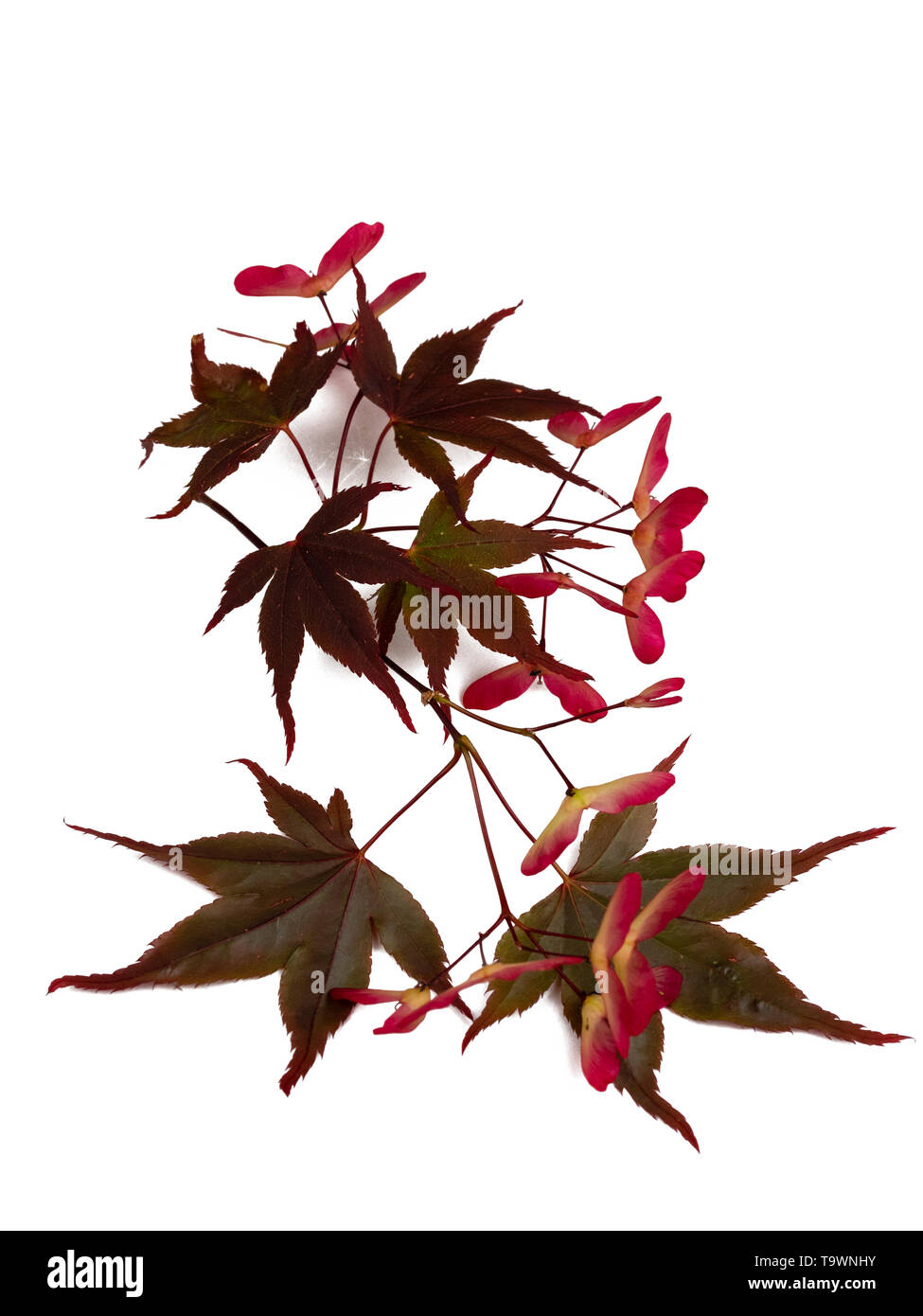 Red winged seeds and red bronze summer foliage of the Japanese maple, Acer palmatum 'Bloodgood', on a white background - Stock Image