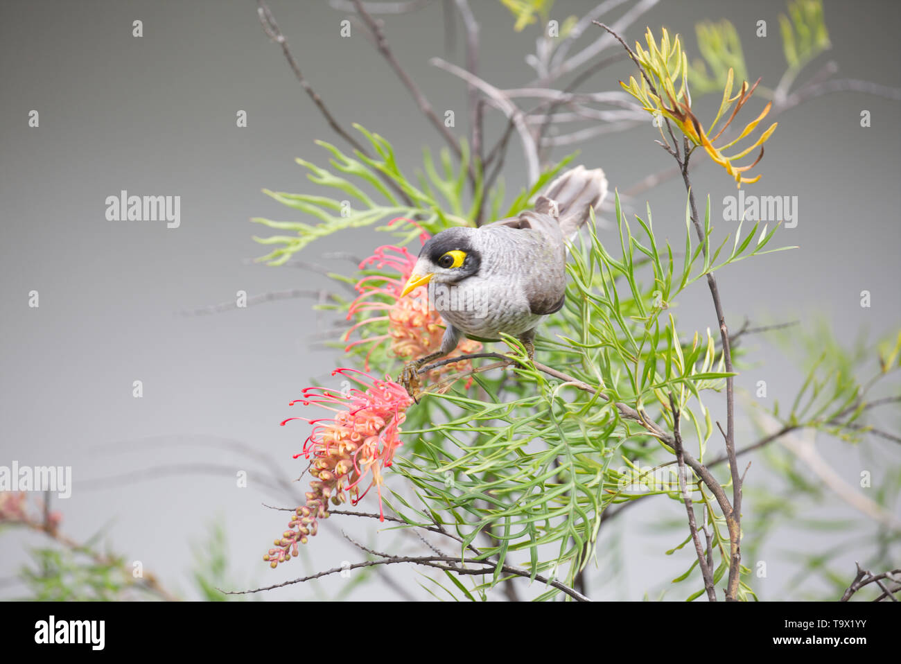A noisy miner bird feeding on a Grevillea bush - Stock Image