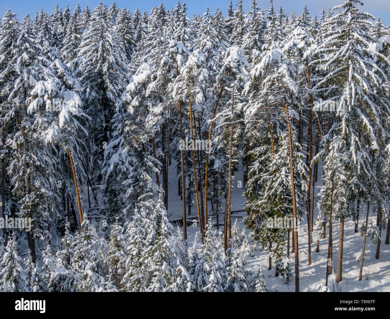 Winter scenery with snowy spruces, Tutzing, Upper Bavaria, Bavaria, Germany, Europe, Winterlandschaft mit schneebedeckten Fichten, Oberbayern, Bayern, - Stock Image