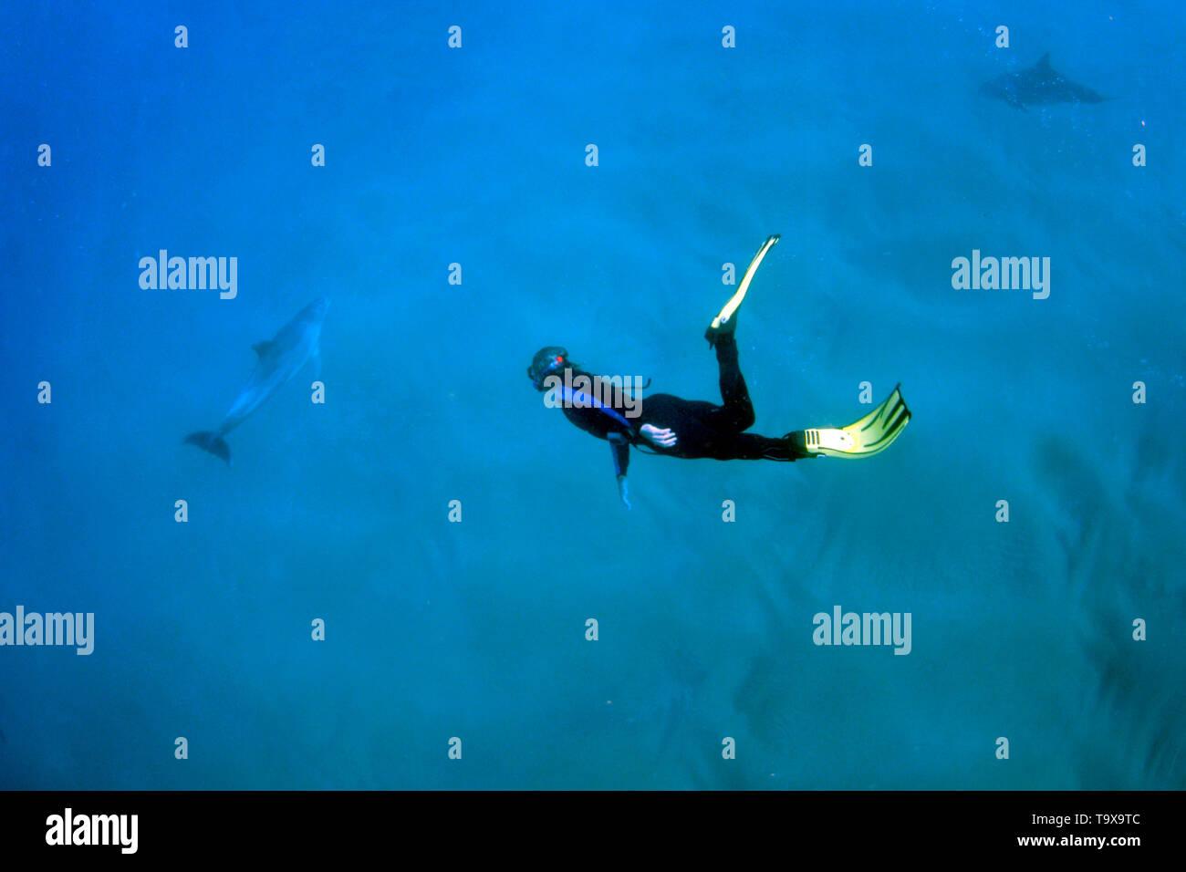 Snorkeler observes bottlenose dolphins, Tursiops truncates, Coffee Bay, Eastern Cape, South Africa - Stock Image