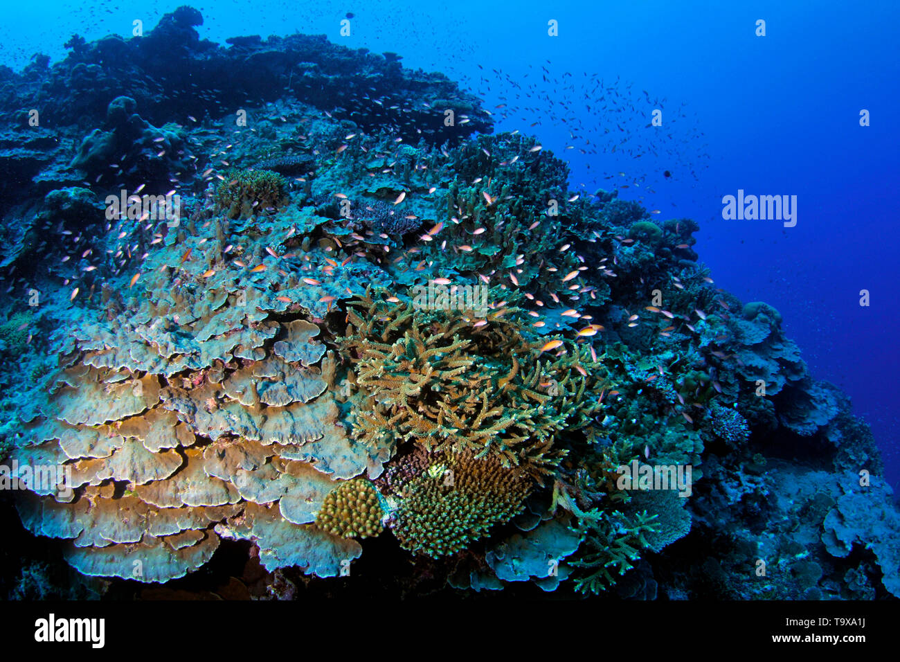 Coral reef scene underwater, Wallis Island, Wallis & Futuna, South Pacific - Stock Image
