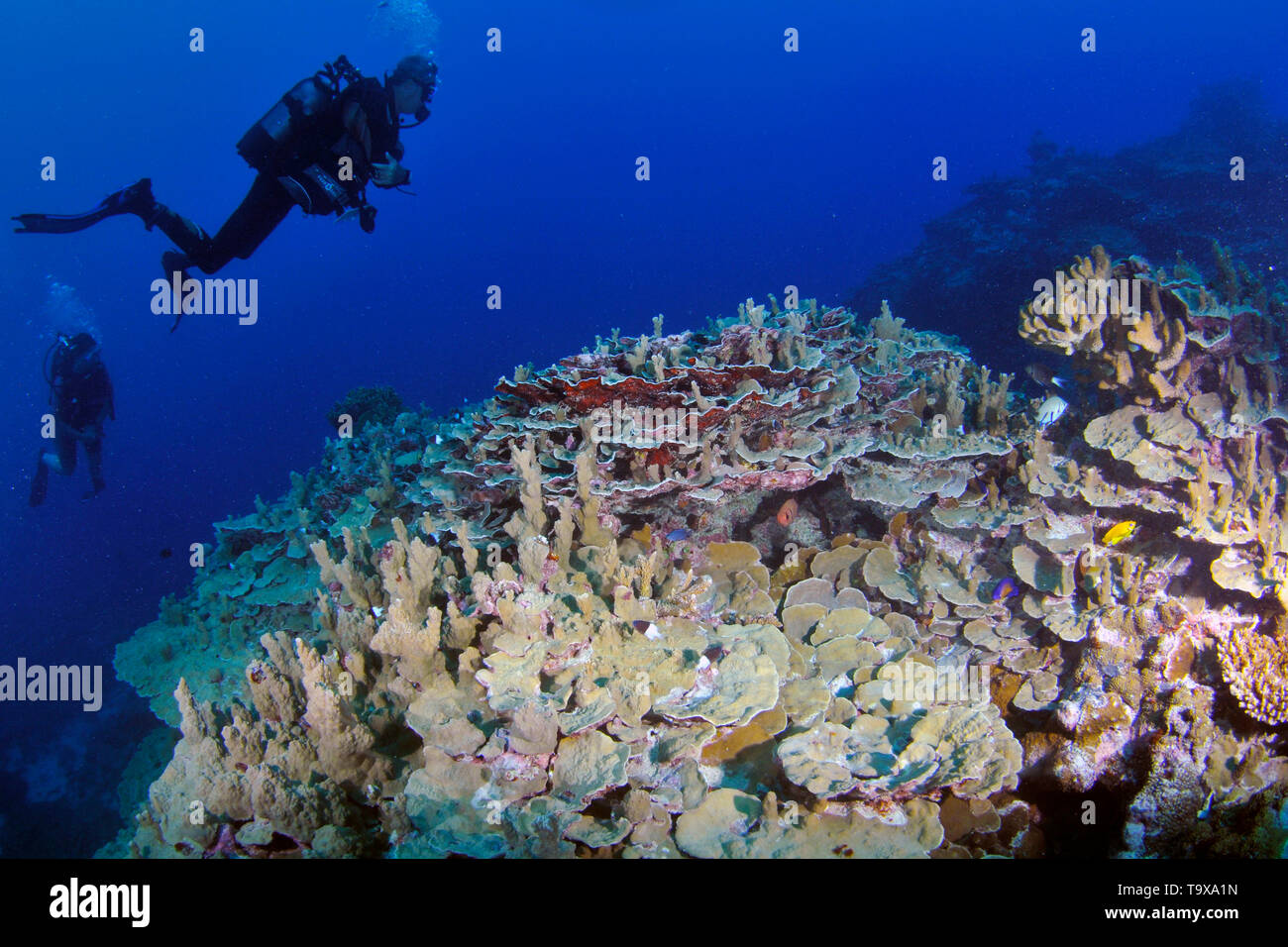Divers explore pristine a coral reef in Wallis Island, Wallis & Futuna, South Pacific - Stock Image