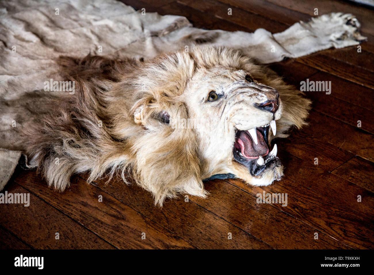 Lion skin rug at Arundel Castle, UK - Stock Image