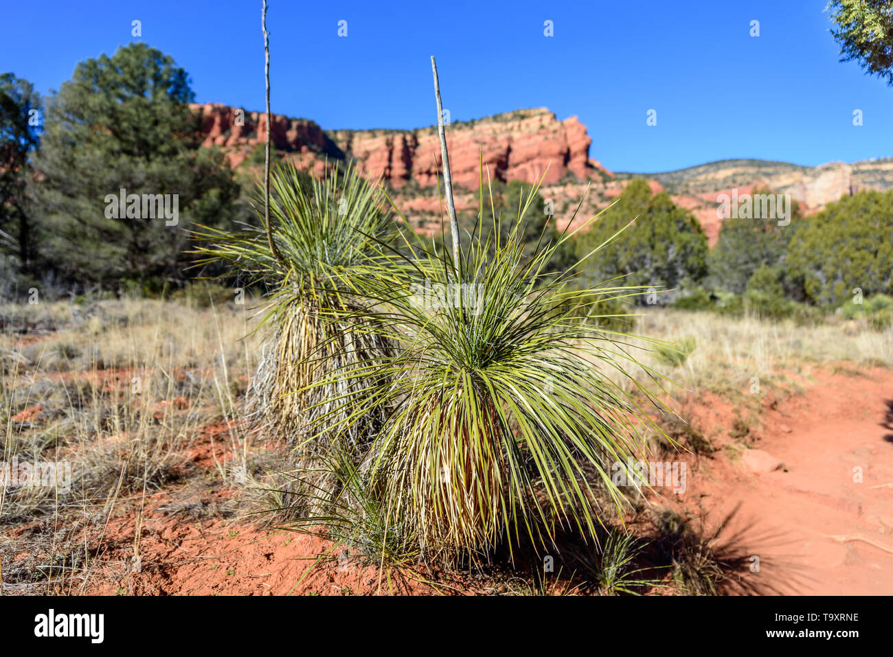 Two young soaptree yuccas grow in the soft red sand of the Sedona desert. Clear blue skies - Stock Image