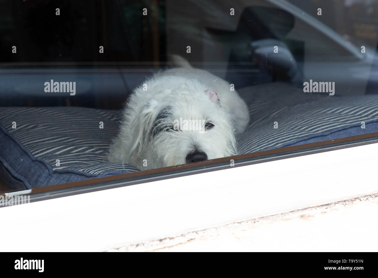 Wire-Haired Parson Russell Terrier dog sitting inside a building and looking out of a window - Stock Image