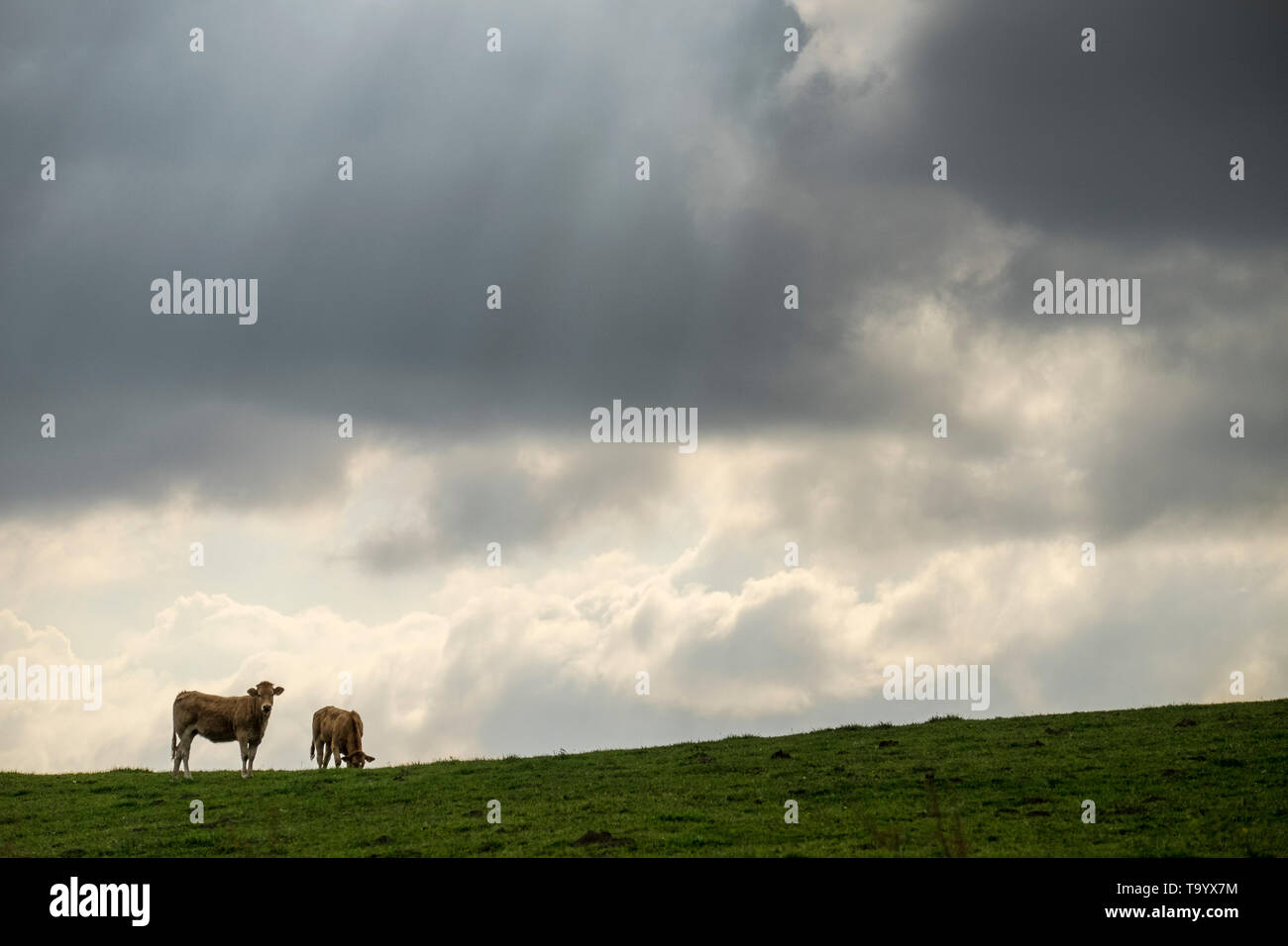 Cows in Navarre, Spain - Stock Image