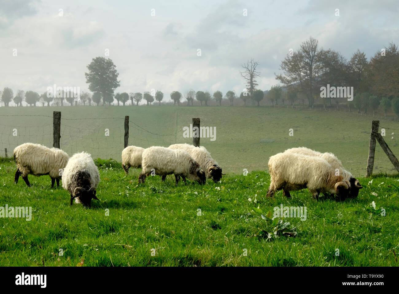 Latxa bred Sheep in Navarre. Spain - Stock Image