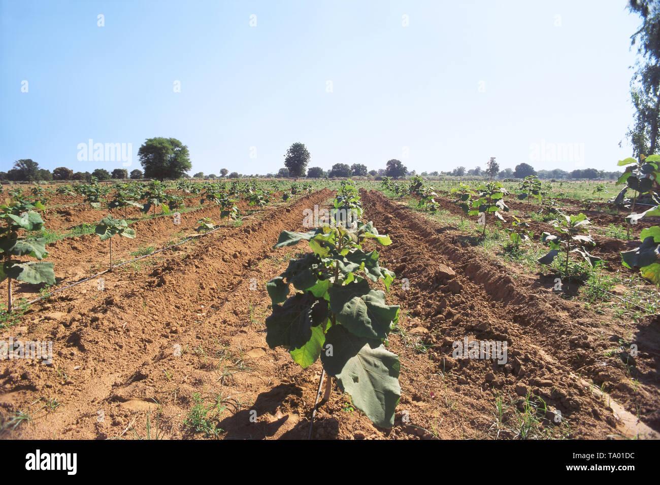 TEAK PLANTATION AND TEAK PLANT, AHMEDABAD, INDIA, ASIA - Stock Image