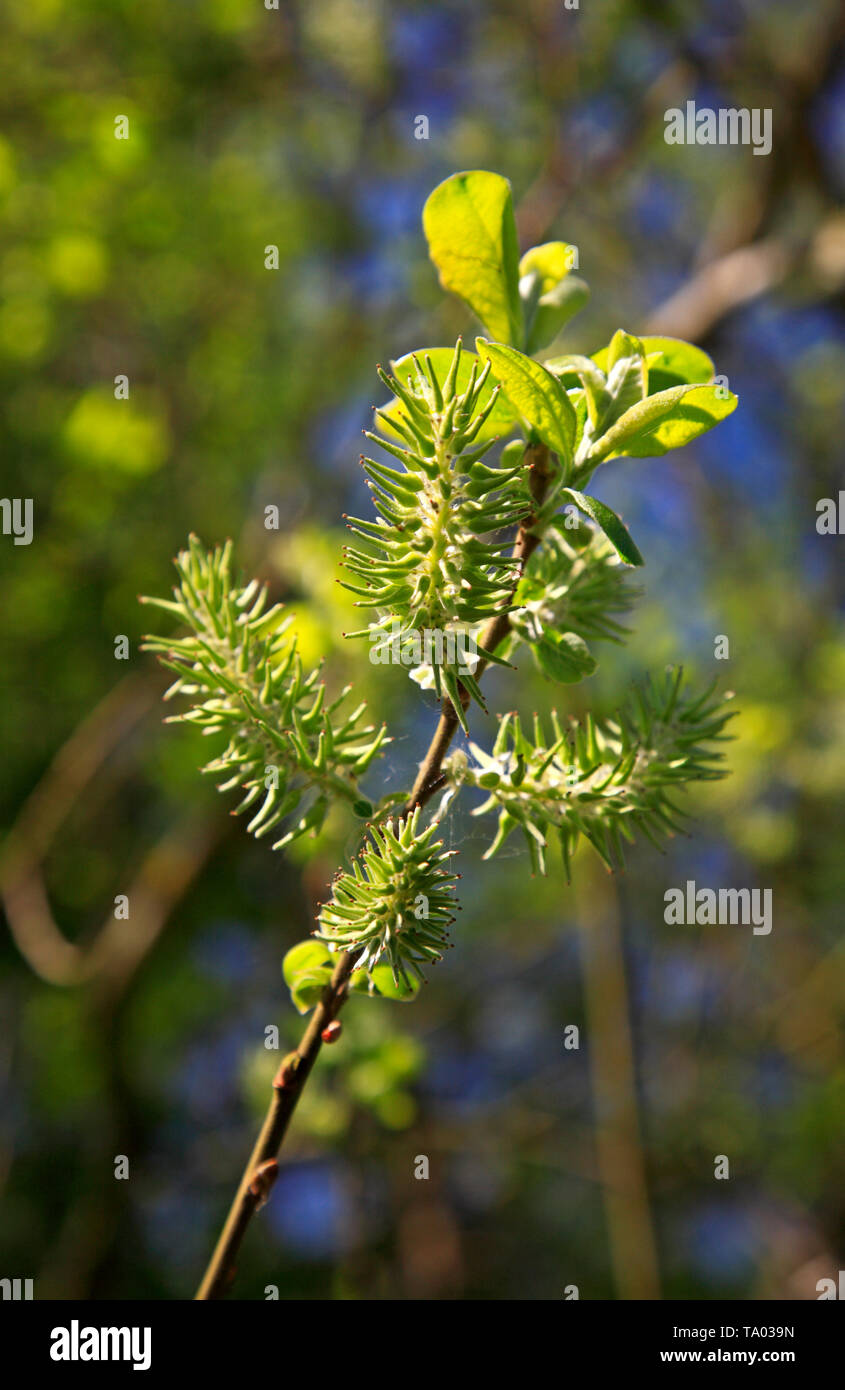 The maturing fruit of the Goat Willow, Salix caprea, at Southrepps Common, Norfolk, England, United Kingdom, Europe. - Stock Image