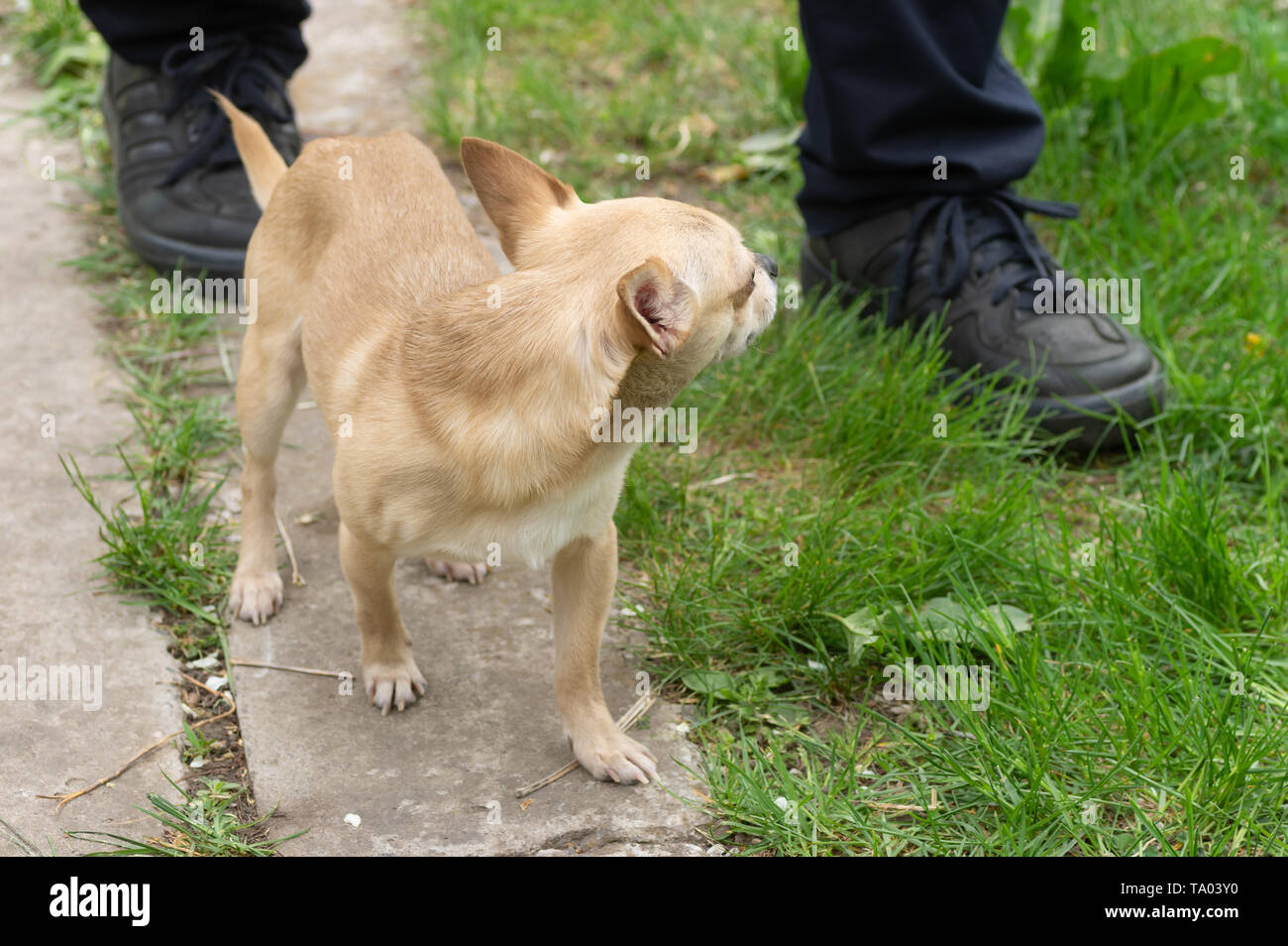 Small creamy brave Chihuahua guarding its master while walking near his feet on outdoor stroll - Stock Image