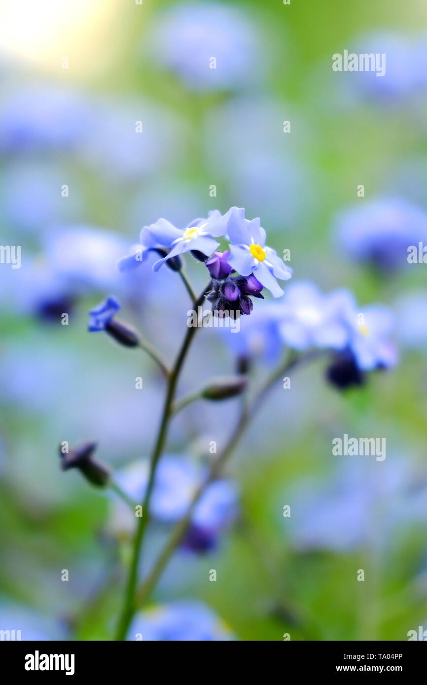 Macro blue petals forget-me-not. Spring wildflowers. Close up. Selective focus. Bokeh. - Stock Image